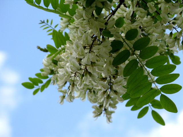 Frittelle di fiori d 39 acacia vegan blog ricette vegane for Acacia albero
