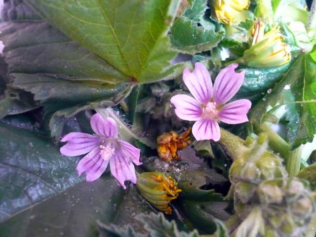 Insalata campagnola con fiorellini selvatici 2